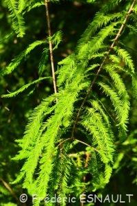 Cyprès chauve ou Cyprès de Louisiane (Taxodium distichum)