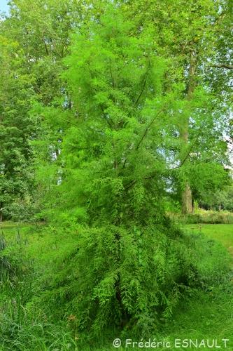 Nouveauté : Cyprès chauve (Taxodium distichum)